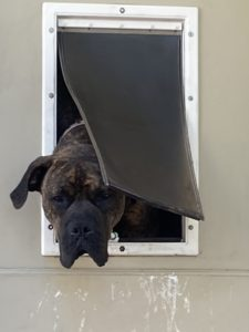 a photo of our dog, Nathan, with his head sticking out the dog door
